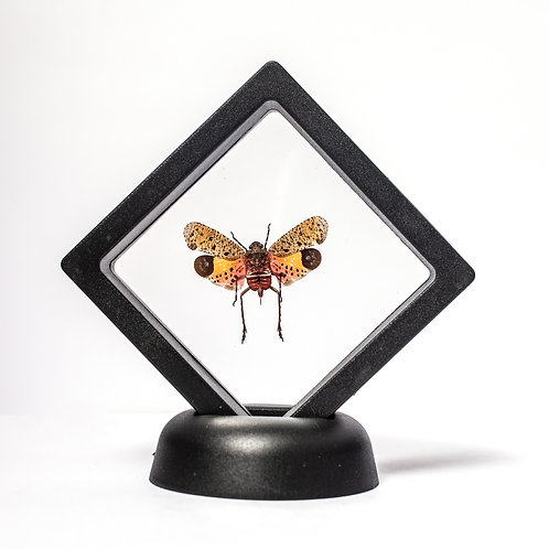 Real Lanternfly (Framed)