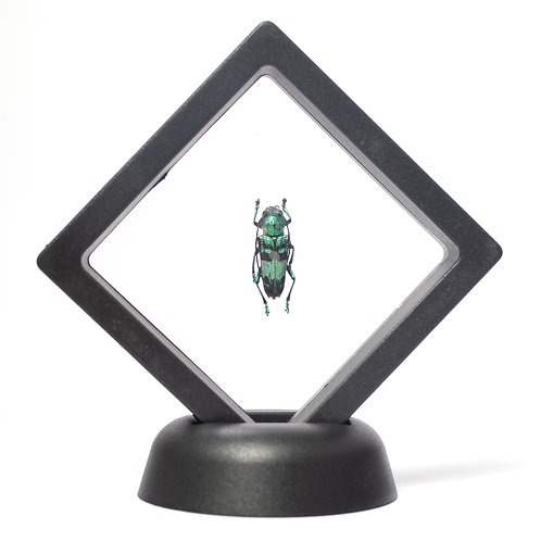 Real Longhorned Beetle (Framed)
