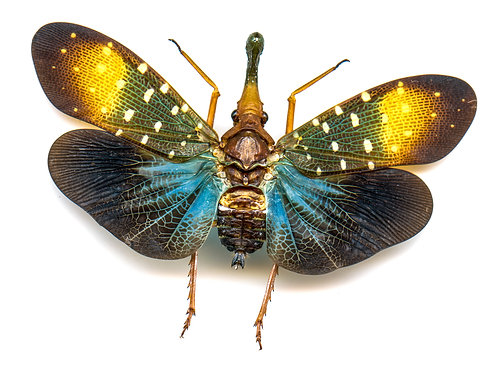 Enlarged Blue Lanternfly Print (Back)