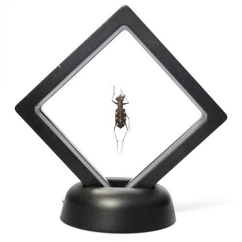 Real Beetle (Framed)