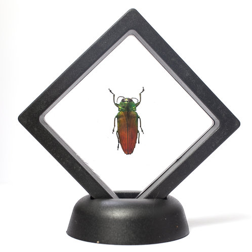 Real Fiery Jewel Beetle (Framed)