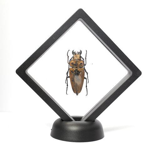 Large Real Beetle (Framed)