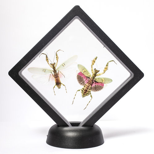 Pair of Real Indian Flower Mantis (Framed)