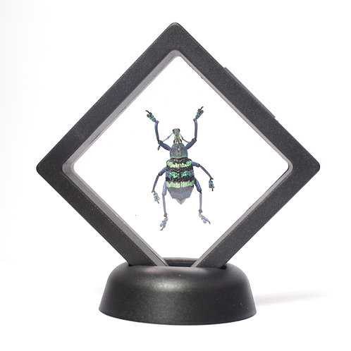 Real Blue Weevil (Framed)