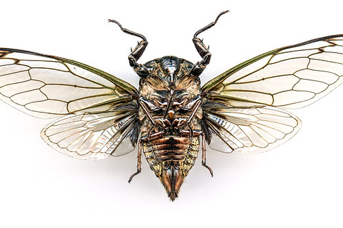 Enlarged Cicada Print (Front)