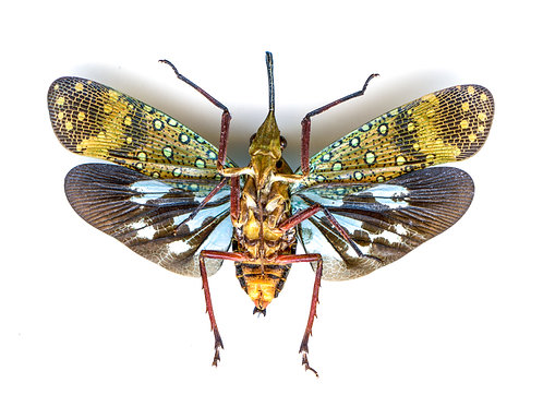 Enlarged Lanternfly Print (Back)