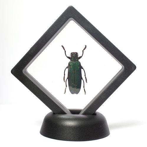 Real Jewel Beetle (Framed)