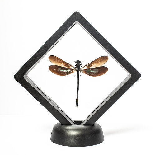Real Damesfly (Framed)