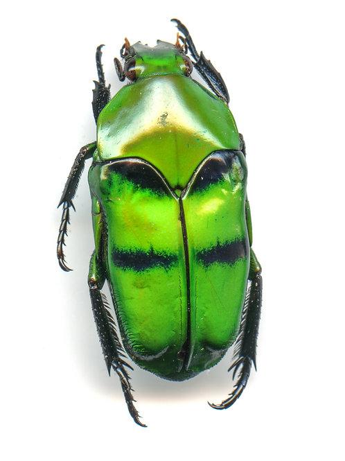 Enlarged Jewel Beetle Print (Back)