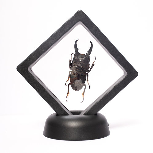 Real Stag Beetle (Framed)