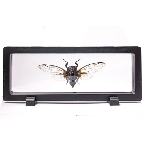 Real Black and White Cicada (Framed)