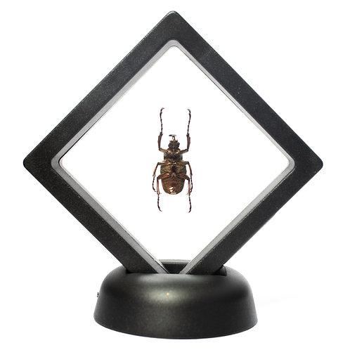 Real Horned Beetle (Framed)