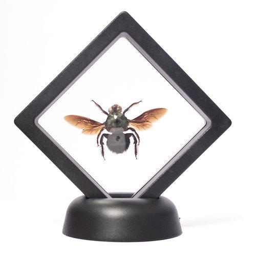 Real Blue Carpenter Bee (Framed)