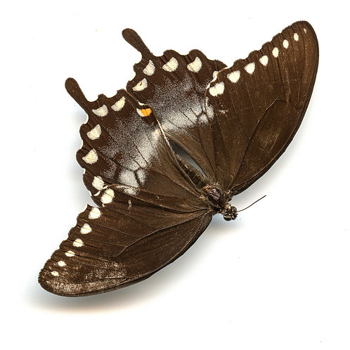 Enlarged Butterfly Print