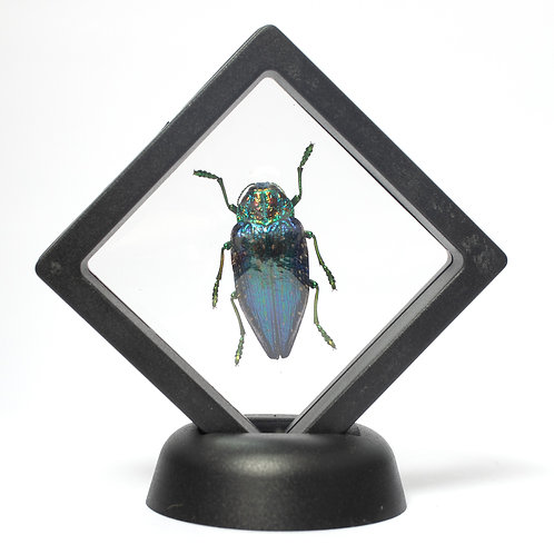 Real Blue Rainbow Jewel Beetle (Framed)