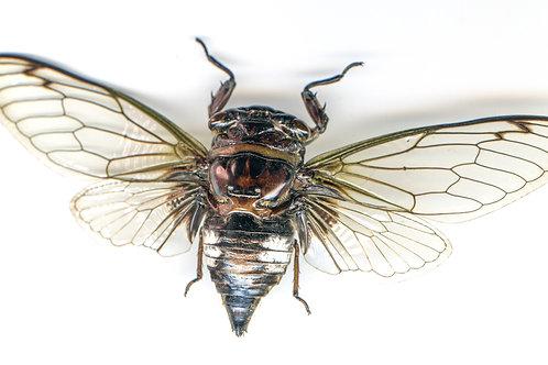 Enlarged Cicada Print (Back)