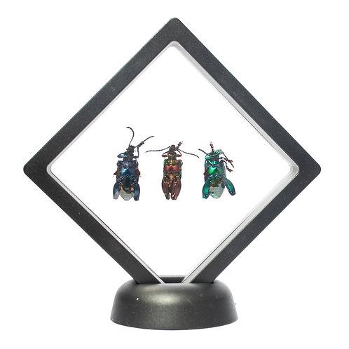 Trio of Real Frog Beetles (Framed)