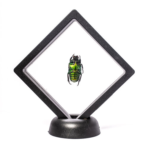 Real Jewel Beetle (Framed)