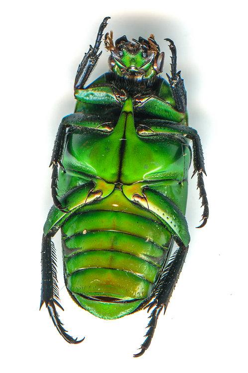 Enlarged Jewel Beetle Print (Front)