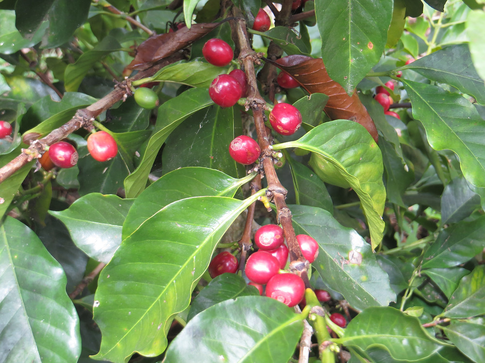 Coffee berries in Colombia
