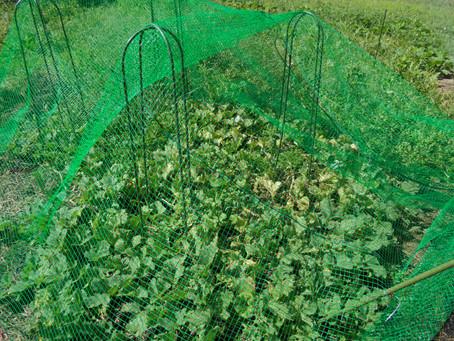 裏庭でメロン収穫