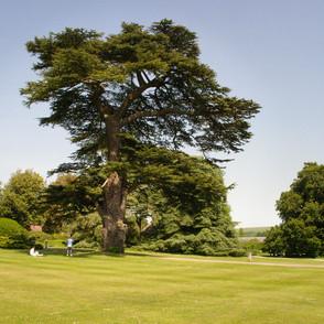 A mighty oak