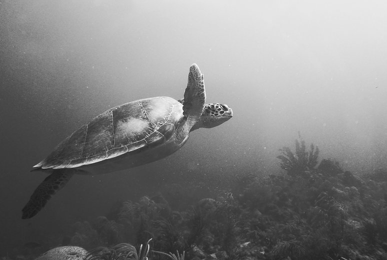 Sea Turtle Species Found on Bonaire. Green turtle (Chelonia mydas) The green turtle has a round face. Hawksbill turtle (Eretmochelys imbricata) The hawksbill turtle has a pointed face with a distinct beak-like appearance. Loggerhead turtle (Caretta caretta) Seaturtle underwater photography