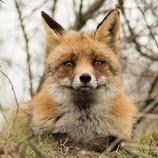 AWD - Fox (Male)
