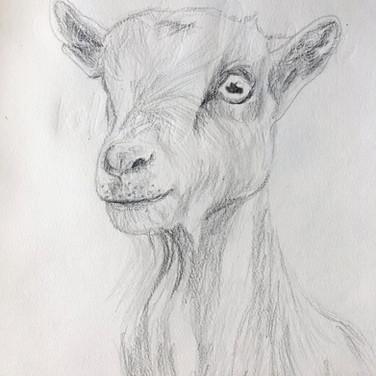 Goat Sketch