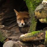 A Fox in Anholter Schweiz