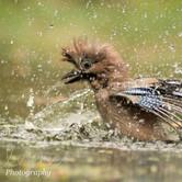 Bathing European Jay