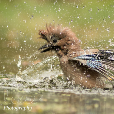Bathing European Jay
