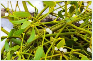 mistletoe muerdago