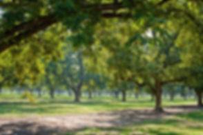 pecan-grove-1415229465.jpg