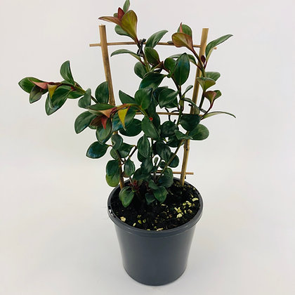 Aeschynanthus – LIPSTICK PLANT