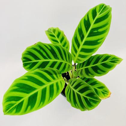 Calathea Zebrina – ZEBRA PLANT