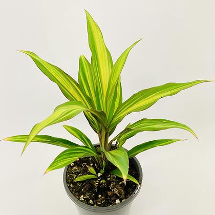 Cordyline Fruiticosa – KIWI