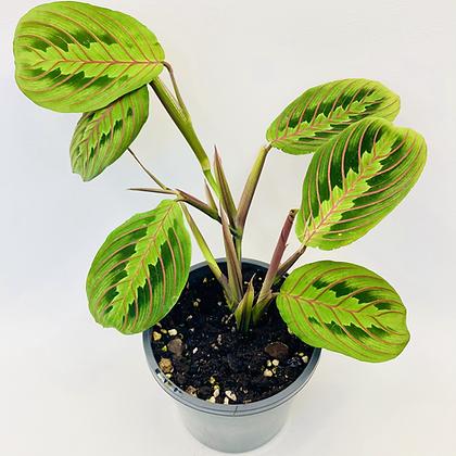 Maranta Erythroneura – RED PRAYER PLANT