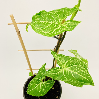 Syngonium Podophyllum - BATIK
