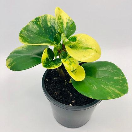 Peperomia Obtusifolia – MARBLE QUEEN