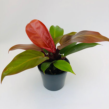 Philodendron – PRINCE OF ORANGE