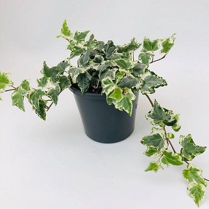 Hedera Helix – CAMOUFLAGE IVY