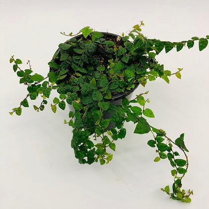 Ficus Pumila – MINIMA