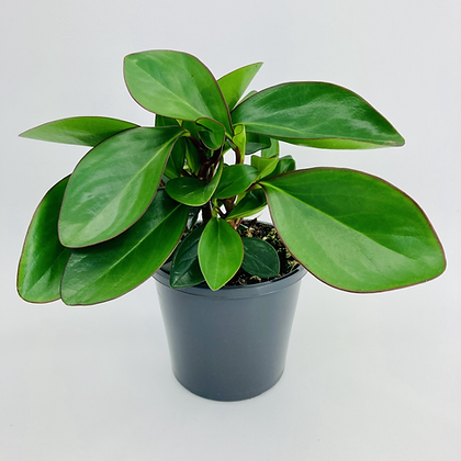 Peperomia Obtusifolia – BRONZE EDGE