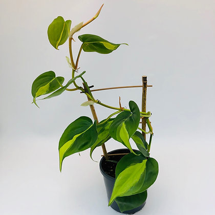 Philodendron  Hederaceum– BRASIL