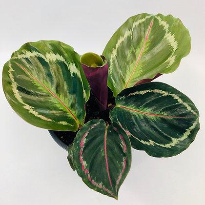 Calathea Roseopicta - MEDALLION