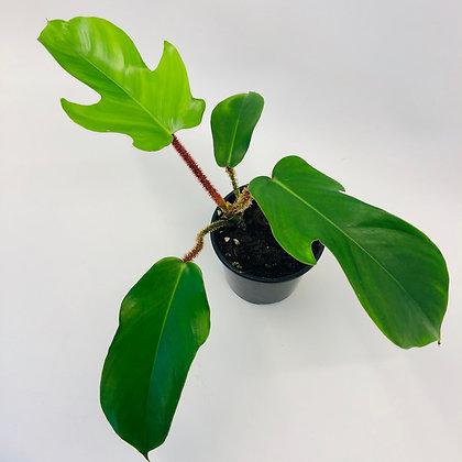 Philodendron Squamiferum – RED BRISTLE PHILODENDRON