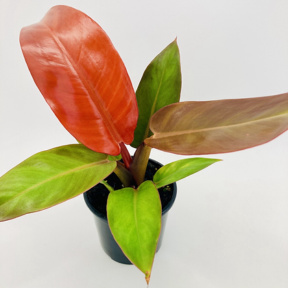 Philodendron – SUN RED