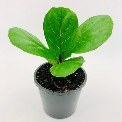 Ficus Lyrata Bambino – FIDDLE LEAF FIG