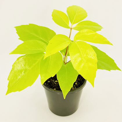 Schefflera Amarte Soleil – YELLOW UMBRELLA TREE